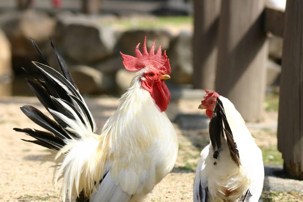 鶏のつがい